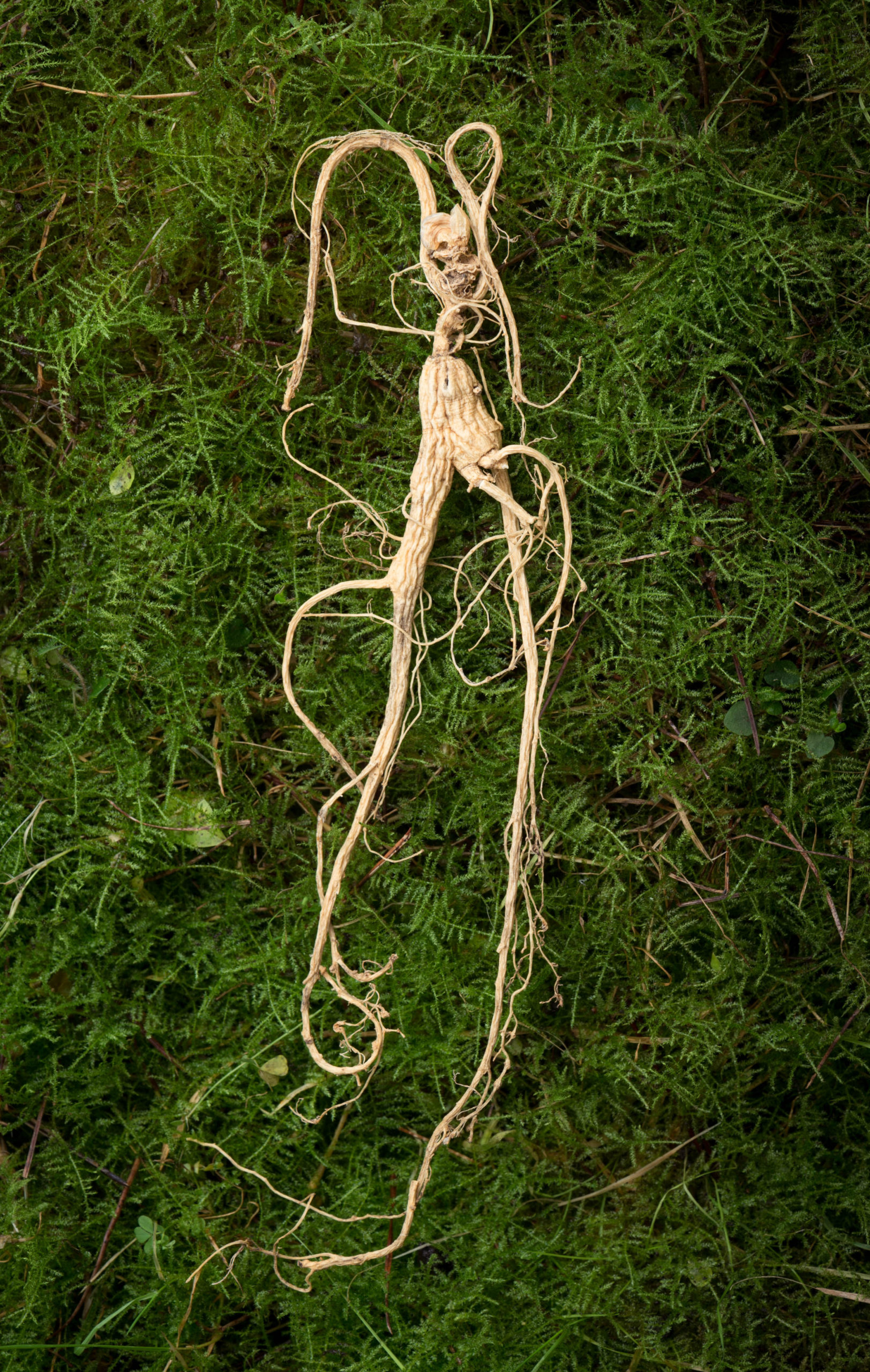 Dried ginseng root. / Photos: Tim Chen.
